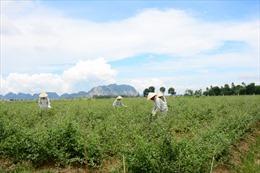 Nông dân gắn 'tem bảo đảm' cho cây thuốc Việt