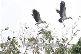 Bảo tồn đàn cò nhạn quý hiếm tại rừng tràm Gáo Giồng, Đồng Tháp