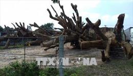 Đã trả 2 cây đa sộp bị giữ ở Thừa Thiên - Huế