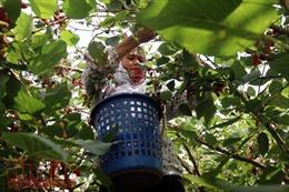 Nông dân xã Hiệp Thuận (Hà Nội) tất bật vào mùa hái dâu tằm, thu về hàng chục triệu đồng