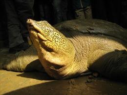 Tìm thấy một cá thể rùa Hoàn Kiếm tại Sơn Tây, Hà Nội