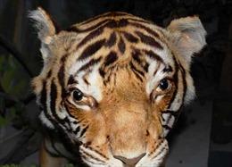 Liên tiếp tịch thu các tiêu bản động vật hoang dã quý hiếm bị cất giữ trái phép