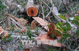 Lâm tặc khai thác gỗ quy mô lớn tại vườn quốc gia Yok Đôn có bãi tập kết gỗ cách Đồn biên phòng 200m