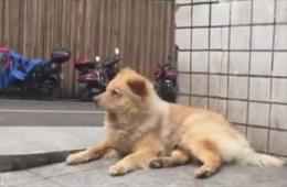 Cư dân mạng Trung Quốc 'tan chảy' vì chú chó đợi chủ 12 tiếng mỗi ngày