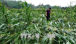 Mưa lớn kèm gió lốc tại Tuyên Quang làm hư hại 67 ngôi nhà