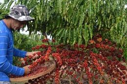 Sản lượng cà phê của Brazil sẽ đạt mức cao kỷ lục niên vụ 2018-2019