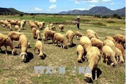 Tìm giải pháp cho 'thủ phủ' chăn nuôi Ninh Thuận