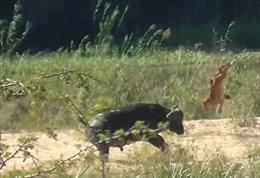 Trâu rừng húc bay sư tử để cứu thằn lằn