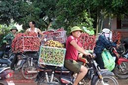 Tấp nập thương lái mua gom vải thiều Lục Ngạn, Bắc Giang