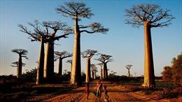Cây baobab biểu tượng của châu Phi chết hàng loạt