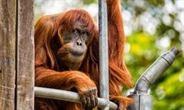 'Cô' đười ươi già nhất thế giới qua đời ở sở thú Australia