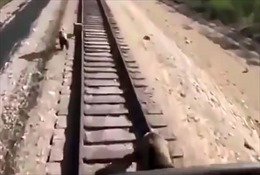 Cố cản tàu hỏa để cứu con, gấu mẹ bị cán chết thương tâm