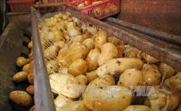 Lâm Đồng bảo vệ thương hiệu khoai tây