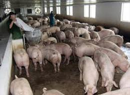 Xuất khẩu thịt lợn tươi sang Myanmar, bước ngoặt của chăn nuôi Việt Nam