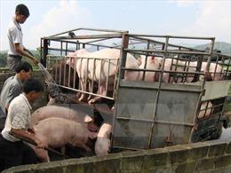 Cà Mau 'hỏa tốc' ngăn chặn bệnh dịch tả lợn châu Phi