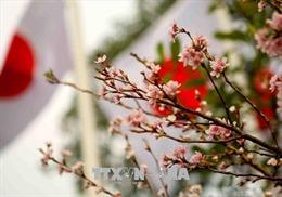 Tuyển chọn Đại sứ thiện chí hoa anh đào 2019