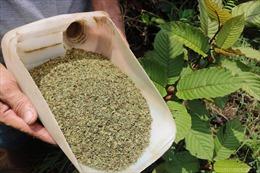 """""""Heroin thảo dược"""" - sinh kế mới của nông dân Indonesia"""