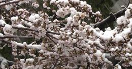 Tuyết rơi bất thường phủ trắng hoa anh đào Tokyo