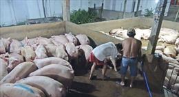 Long An: Giá tăng, lò mổ lại bơm nước vào lợn để trục lợi