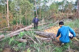 Tạm đình chỉ công tác cán bộ để xảy ra vụ phá rừng thông 20 năm tuổi