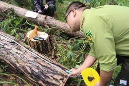Yêu cầu kiểm điểm trách nhiệm vụ chặt hạ rừng thông 30 năm tuổi ở Nam Ban