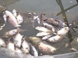 Kiên Giang: Nước ngọt đổ ra biển nhiều hơn mọi năm, cá nuôi lồng bè chết hàng loạt