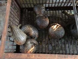 Quảng Ninh: Bắt quả tang cơ sở nuôi nhốt, tàng trữ 145 con tê tê quý hiếm