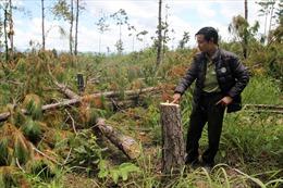 Lâm Đồng: 'Biến mất' hàng trăm ha rừng nguyên liệu giấy