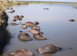 Thảm kịch 400 con bò rừng quý hiếm chết đuối sau khi bị bầy sư tử xua đuổi