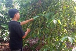 Nghịch lý được mùa cà phê nhưng nông dân không vui
