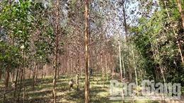 Bắc Giang: Nhiều diện tích bạch đàn bị khô lá chưa rõ nguyên nhân