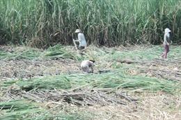 Người trồng mía ở Trà Vinh lại 'méo mặt' vì thua lỗ nặng
