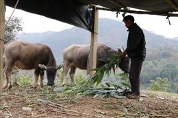 Giảm thiểu thiệt hại cho đàn vật nuôi trong các đợt rét đậm, rét hại
