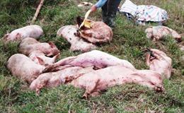 Tiêu hủy 1.200 con lợn bị lở mồm long móng