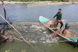 Giá cá tra giữ ở mức cao, nông dân Đồng Tháp phấn khởi dịp đầu năm