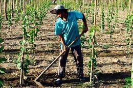 Ninh Thuận chuyển đổi gần 1.200 ha cây trồng trên vùng đất khô hạn