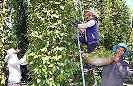 Ra văn bản 'khẩn' huy động nhân công giúp dân thu hoạch hồ tiêu