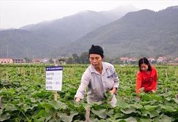 Vĩnh Phúc phát triển su su thành nông sản thế mạnh