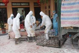 Phát sinh thêm 2 ổ dịch, bệnh tả lợn châu Phi diễn biến phức tạp tại Hà Nam