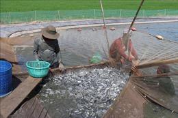 Long An quản lý chặt việc ương cá tra giống