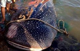 Cá dài hơn 2m bị ngư dân Sầm Sơn xẻ thịt bán là cá nhám voi quý hiếm