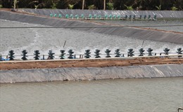Bến Tre gặp khó trong xử lý nuôi tôm ngoài vùng quy hoạch