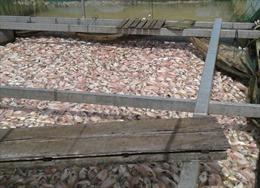 Không phát hiện vi rút gây bệnh khiến cá chết ở Hà Tĩnh