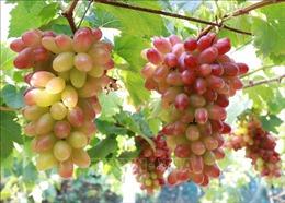 Phát triển nhiều giống nho chất lượng cao tại Ninh Thuận
