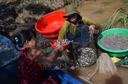 'Ngón nghề' nuôi nhử cá đồng mùa nước nổi