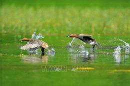 Chiêm ngưỡng vẻ đẹp của loài chim le le ở khu danh thắng Tràng An