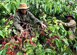 Nông nghiệp Tây Nguyên thích ứng với biến đổi khí hậu -Bài 4: Ứng dụng thành tựu khoa học vào sản xuất