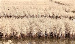 Cống thủy lợi không ngăn được mặn, đe dọa hàng chục nghìn héc-ta lúa và hoa màu