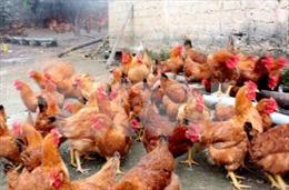 Công bố dịch cúm gia cầm H5N6 ở thành phố Buôn Ma Thuột