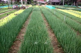 Làng nghề trồng rau truyền thống Trà Quế, niềm tự hào của người dân Hội An